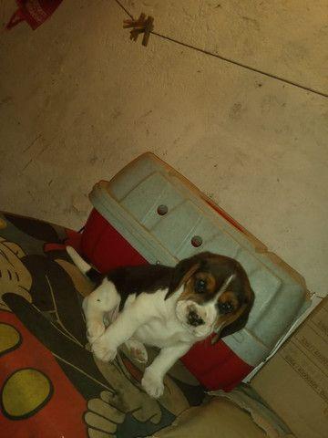Filhotes Beagle, data de nascimento 04/02/2021 faça sua reserva  - Foto 5