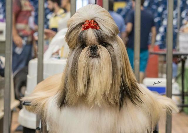 Cães de alta genética canil PS