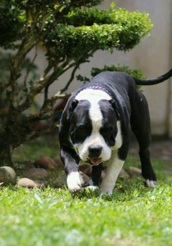 """Cruza """"Canil Forbeck's bull kennel"""""""