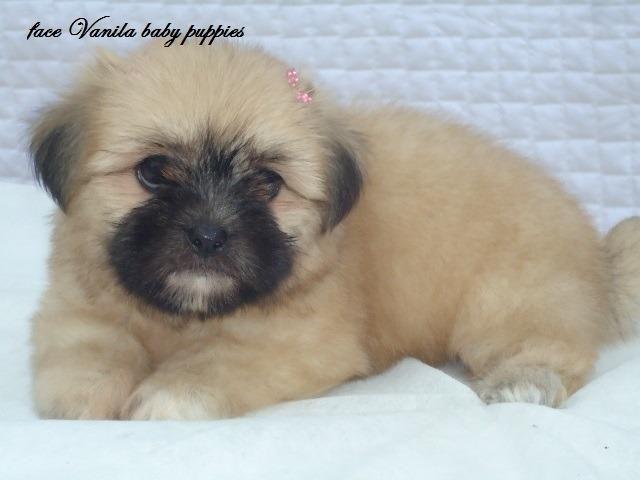 Vanila baby puppies disponibiliza de lisdas feminhas de lhasa apso parc 5x  s, juros cartão