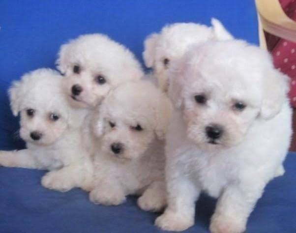 Lindos filhotes de poodle macho com 45 dias de vida d vacinação