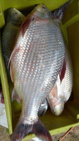 Peixes  - Foto 6