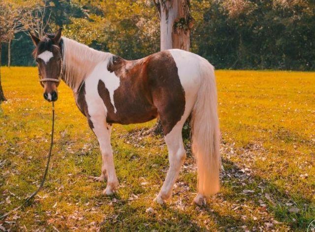 Lindo cavalo Tubiano - Foto 3