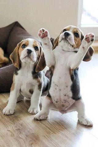 beagle fêmea ja vacinada