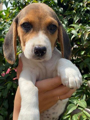 beagle-filhotes lindos disponiveis!!!! - Foto 2