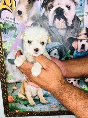 Lindos filhotes de poodle macho com 45 dias de vida d vacinação - Foto 2
