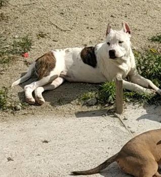 Fêmea de American Staffordshire Terrier - Foto 2