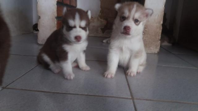 Lindos filhotes de Husky Siberiano disponível - Foto 4