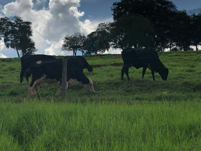 8 vacas de leite paridas - Foto 4
