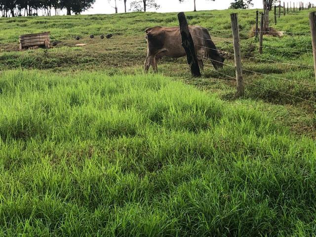 8 vacas de leite paridas - Foto 3