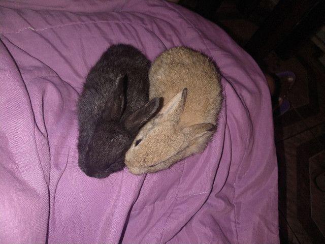 Vendo ou troco filhotes de coelhos por algo do meu interesse - Foto 2