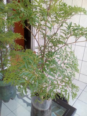 Árvore da felicidade - Foto 5