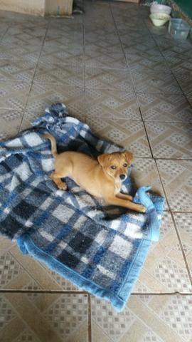 Cachorro 2 meses vacinado para doação - Foto 3