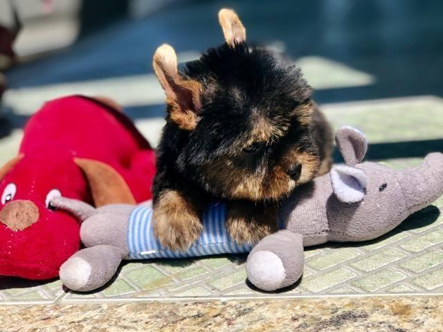 Fofura de filhote Mini Yorkshire Macho e Fêmea Canil Recanto Ribeiros - Foto 2