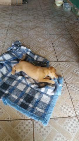 Cachorro 2 meses vacinado para doação - Foto 2