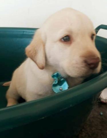 Labrador alto padrao