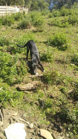 Vende- se cadela Labrador preto