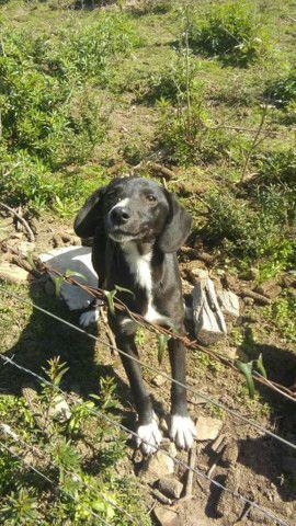 Vende- se cadela Labrador preto - Foto 2