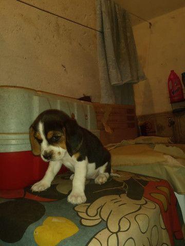 Filhotes Beagle, data de nascimento 04/02/2021 faça sua reserva  - Foto 4