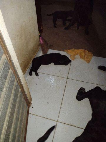 Filhote labrador - Foto 5