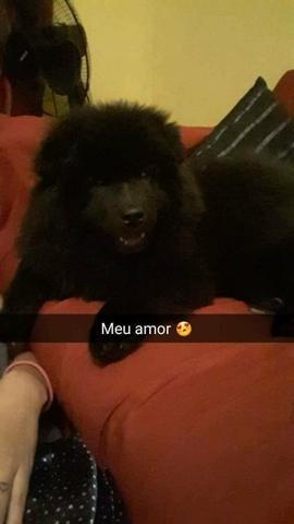 Chow chow 3 meses