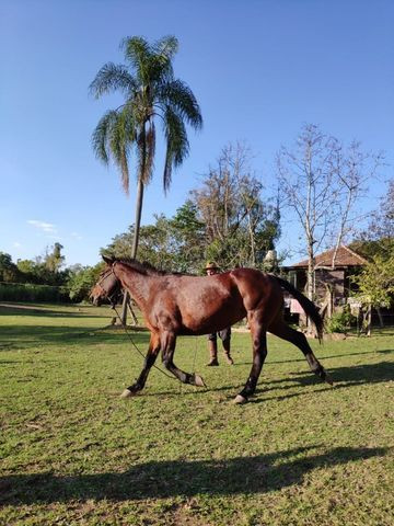 Égua super mansa - Quarto de Milha - Foto 3
