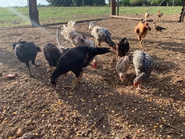Vendo frango e galinha caipira original já picados - Foto 2