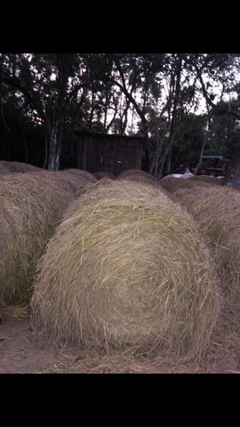 Feno de palha de arroz - Foto 2