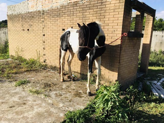 Vendo cavalo pampa - Foto 6