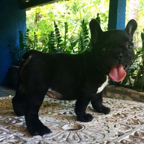 Bulldog francês fêmea preta disponível - Foto 4