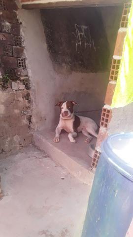 Pitbull ABPT - Foto 3