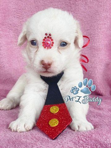 Lindos poodles filhotes com linda pelagem