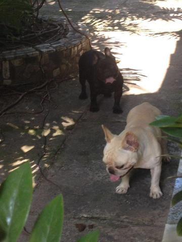 Bulldog francês fêmea preta disponível - Foto 6