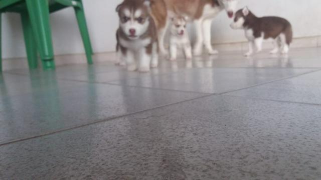 Lindos filhotes de Husky Siberiano disponível - Foto 3