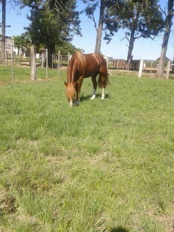 Cavalo Crioulo Inteiro Confirmado - Foto 2