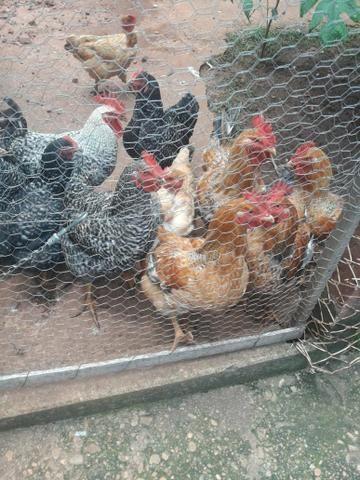 Vendo frangos caipira