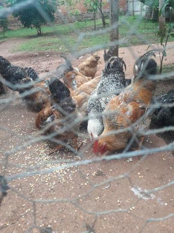 Vendo frangos caipira - Foto 3