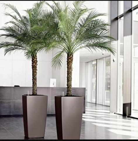 Palmeira fênix para jardim piscina paisagismo área de lazer sítio chácara