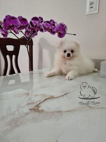 Machinho Branco  de Lulu da Pomerânia - Foto 4