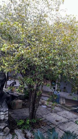 Árvore frutífera - Foto 3