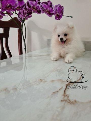 Machinho Branco  de Lulu da Pomerânia - Foto 3