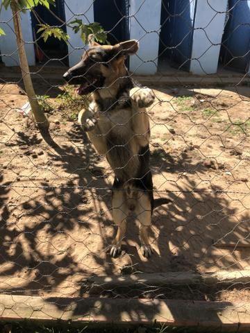 filhote pastor alemão capa preta puro 5 meses macho cachorros