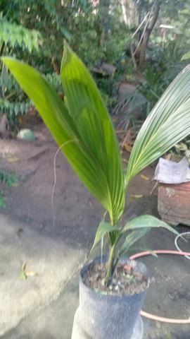 Muda coqueiro anao no saco - Foto 4