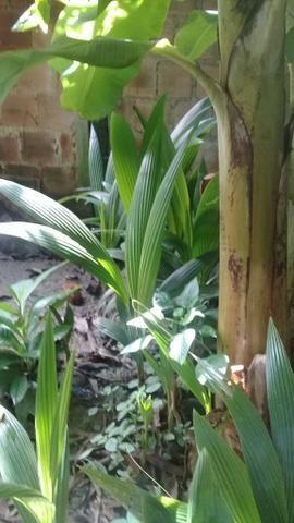 Muda coqueiro anao no saco - Foto 3