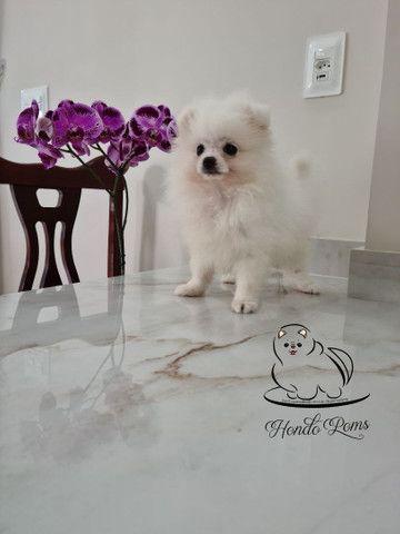 Machinho Branco  de Lulu da Pomerânia