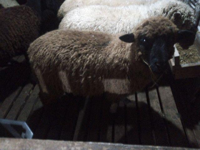 Ovelha borrego carneiro capão - Foto 3