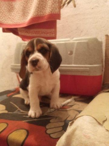 Filhotes Beagle, data de nascimento 04/02/2021 faça sua reserva  - Foto 6