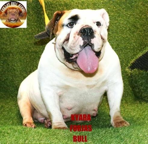 Bulldog ingles fêmea ciando
