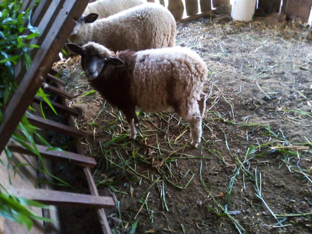Ovelha borrego carneiro capão - Foto 5