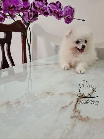 Machinho Branco  de Lulu da Pomerânia - Foto 6
